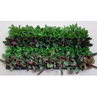 Assorted Succulents D1 (tray of 128)