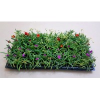 Groundcover Succulents G4 (tray of 128)
