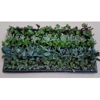 Assorted Succulents S1 (tray of 128)