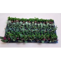 Assorted Succulents S2 (tray of 128)