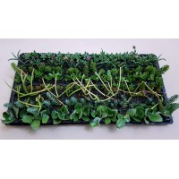 Assorted Succulents S3 (tray of 128)