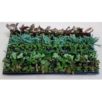 Assorted Succulents S4 (tray of 128)