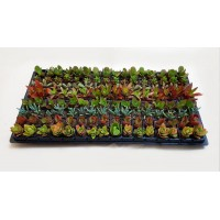 Assorted Succulents S6 (tray of 128)