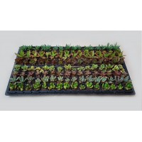 Assorted Succulents S7 (tray of 128)