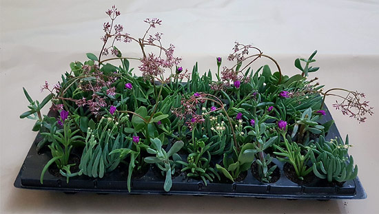 Ready-Mix Assorted Succulents R2 (tray of 45)