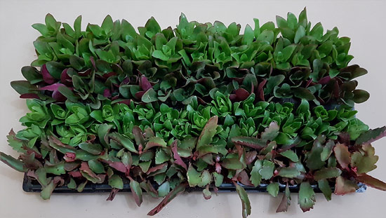 Assorted Succulent / Waterwise Groundcovers D1 (tray of 128)