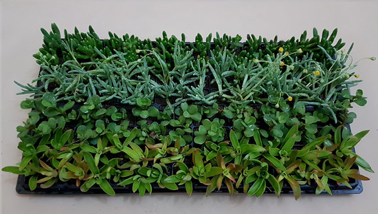 Assorted Succulent / Waterwise Groundcovers D2 (tray of 128)