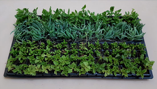 Assorted Succulent / Waterwise Groundcovers D3 (tray of 128)