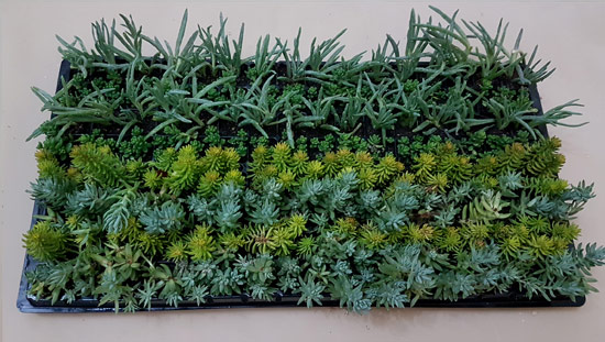 Assorted Succulent / Waterwise Groundcovers G2 (tray of 128)