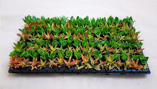 Assorted Succulent / Waterwise Groundcovers G5 (tray of 128)