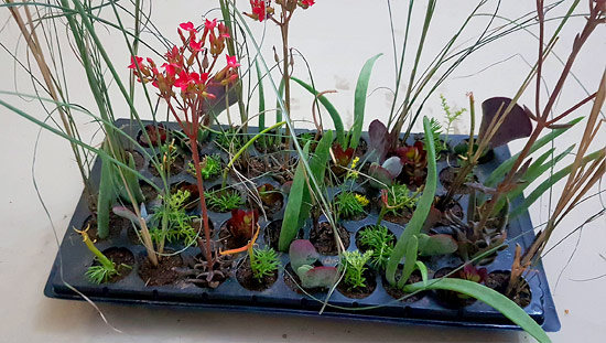 Ready-Mix Assorted Succulents V2 (tray of 45)