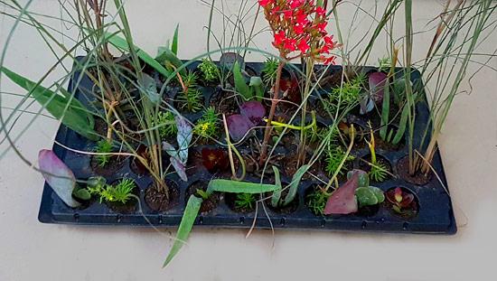 Veld Grass Mix V2 (tray of 45)