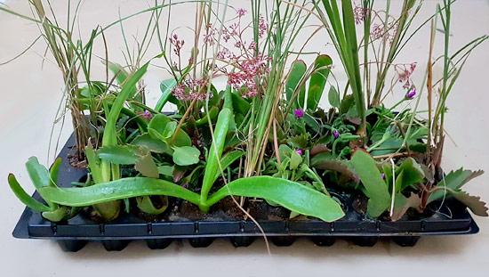 Veld Grass Mix V3 (tray of 45)