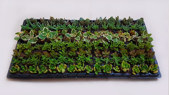 Assorted Succulents S8 (tray of 128)