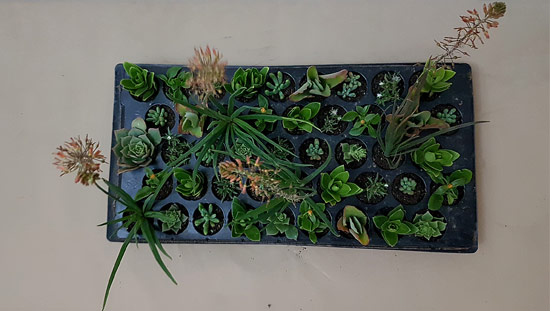 Ready-Mix Assorted Succulents R4 (tray of 45)