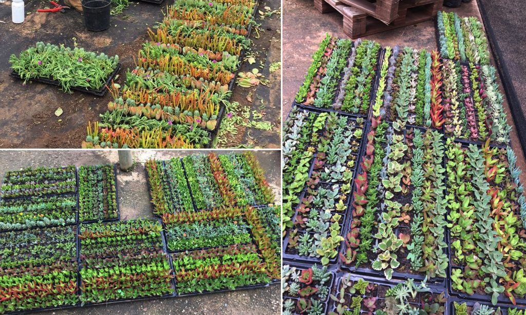 Succulent Trays - DIY Landscaping - Do-It-Yourself Gardening - succulent plants in a do-it-yourself tray - succulent plants are a sustainable solution to low-maintenance gardening - succulent plants rule!